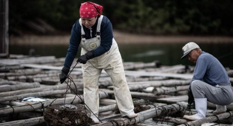 Farmers of the Sakaguchi Akoya pearl farm harvest oysters in Shima./AFP