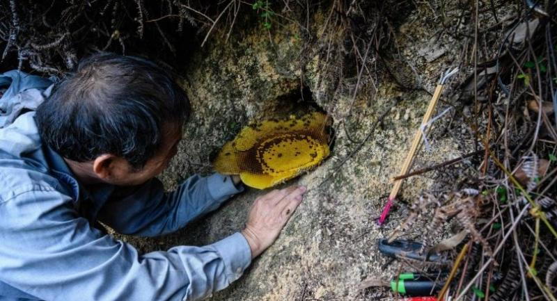 This photo taken on February 14, 2019 shows beekeeper Yip Ki-hok, 62, using his bare hands to delicately remove a section of a honey-filled bees nest on a hillside in Hong Kong. /AFP