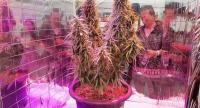 "Many people gather to observe a fullgrown cannabis plant, which is exhibited at the medical cannabis fair ""Pan Buriram"", which was held from Friday until yesterday in Buri Ram province. Photo Pratch Rujivanarom"