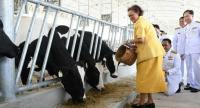 HRH Princess Maha Chakri Sirindhorn feeds food to cows at a diary farm inside Chitralada Palace on Thursday.