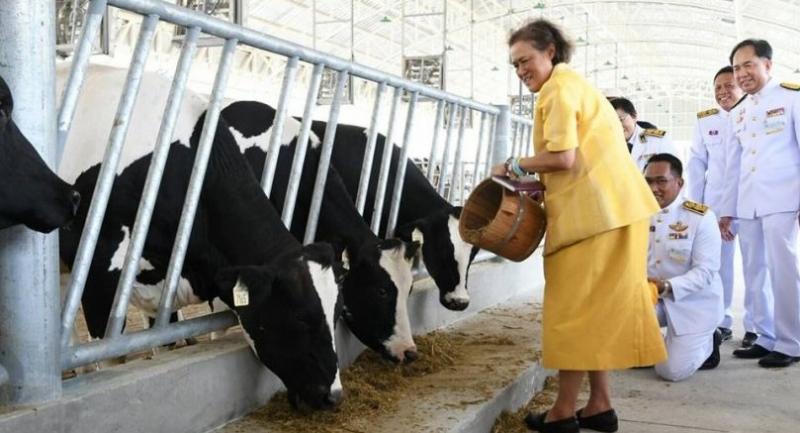 HRH Princess Maha Chakri Sirindhorn feeds food to cows at a diary farm inside Chitralada Palace on Thursday.