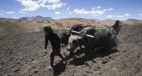 (FILES) In this file photo taken on July 8, 2018, Indian villagers plow a field with the help of two yaks in Komik village, the highest village in India, in Spiti Valley in the northern state of Himachal Pradesh. // AFP PHOTO