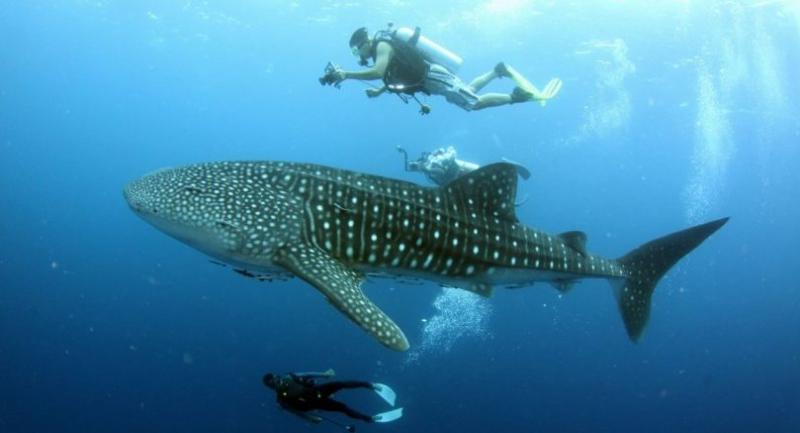 File photo: Whale shark