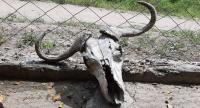 This skull of a wild buffalo in northern Tanzania is another evidence of widespread drought in East Africa.