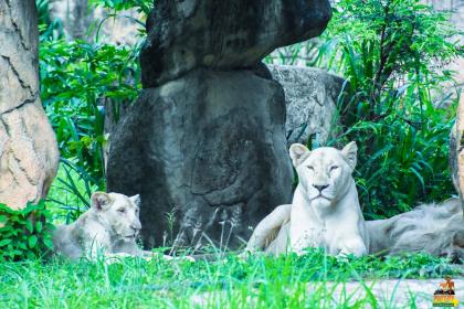 White lions at Khon Kaen Zoo. Photo courtesy of Khon Kaen Zoo.
