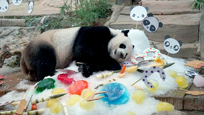 Chuang Chuang enjoys his feasts during a happy birthday treat at Chiang Mai zoo last year.