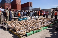 Officers from Cambodian customs display some of the 1.3 tonnes of African elephant tusks seized from containers shipped from Mozambique to Phnom Penh in 2016. Wildlife Alliance