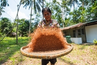 A villager winnows grain/Photo by Parinya Chawsamun