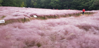 This file photo from last year shows a pink muhly field in the southern port city of Ulsan. (Yonhap)