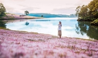 Pink grass hills in Lam Dong Province have attracted many tourists who come to take photos when the grass is in full blossom. — Photo du-lich-da-lat.com