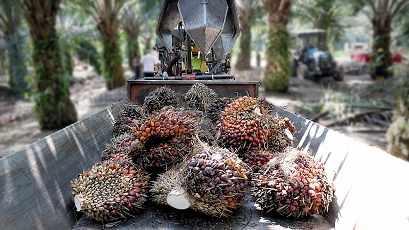 Palm oil fruit are seen inside the tractors at the Sime Darby Plantations on February 25 in Carey Island outside Kuala Lumpur. Photo: Getty Images