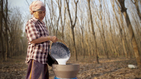 A Thai farmer pours rubber sap collected from trees on her and her husband's rubber plantation in Rayong, Thailand. Photo: Getty Images