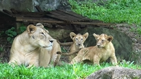 A mother lion and her 4-month-old cubs are seen for the first time by visitors to the SongKhla zoo today (November 22). (Santipab Ramsuit/NationPhoto)