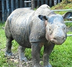 Last of her kind: Iman was Malaysia's last known surviving female rhinoceros.