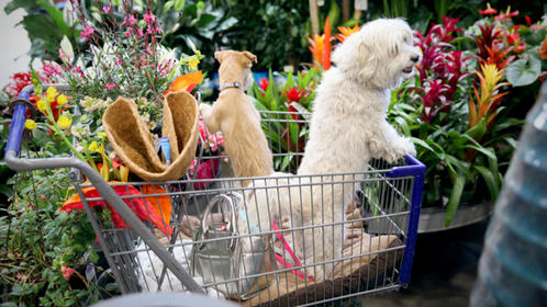 Pet dogs stand in a shopping cart inside a Lowe's Cos. Home Improvement Warehouse store in Burbank, Calif., on May 19, 2017. MUST CREDIT: Bloomberg photo by Patrick T. Fallon.