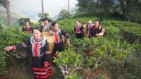 The Lahu people pick tea leaves