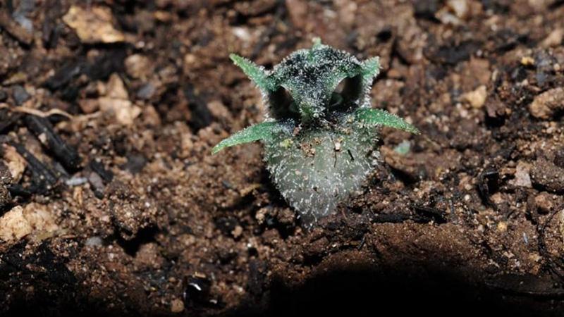 Photo Credit: Sukid Rueangruea, Botanist of Office of the Forest Herbarium