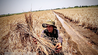 Salinity intrusion destroyed rice fields in the Mekong Delta province of Kiên Giang in 2016.—VNA/VNS Photo Trọng Đạt