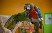 Suzie, a military macaw, left, and Kirby, harlequin macaw, groom each other at TC Feathers Aviary on Jan. 2, 2020. Their offspring may be the first cross between the types of macaws. MUST CREDIT: Washington Post photo by Jahi Chikwendiu