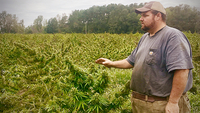 In Harleyville, S.C., John Trenton Pendarvis surveys one of his two remaining hemp crops prior to harvest last fall. After planting his crops in unpermitted fields because of water issues, Pendarvis was arrested for illegal hemp cultivation, and his field was bulldozed. MUST CREDIT: Photo by Chris Dixon for The Washington Post