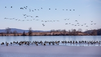 Canada geese fly over the Middle Creek Reservoir as others rest on the ice in the Middle Creek Wildlife Management Area in Stevens, Pennsylvania, on Jan. 9, 2020. MUST CREDIT: Photo for The Washington Post by Kyle Grantham