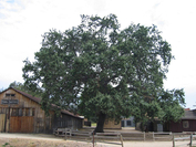 The Witness Tree at Paramount Ranch's Western Town when it was healthy, in an undated photo. MUST CREDIT: National Park Service