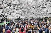 Large crowds of people walk beneath the cherry blossoms in full bloom in Ueno Park in Taito Ward, Tokyo, in March 2019 (Yomiuri Shimbun file photo)