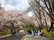 People walk on a path lined with blossoming cherry trees leading to N Seoul Tower on Saturday afternoon. (Ock Hyun-ju/The Korea Herald)