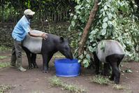 Animal keeper, Parman feeds Tapir (Tapirus indicus) named Bona, 3 years and Hegar, 5 years at the Bandung Zoological Garden, Saturday, April 25, 2020. (JP/Arya Dipa)