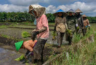 Farmers plant rice during the second planting season in 2020 amid the COVID-19 pandemic near the village of Tunggulwulung in Malang, East Java, on April 10. (JP/Aman Rochman)