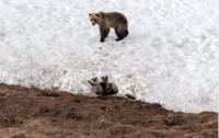 A bear looks after her three cubs in North Slope Borough, Alaska, between Nuiqsut and Teshekpuk Lake, where the Trump administration is proposing to open the land to oil and gas drilling, on May 25, 2019. MUST CREDIT: Washington Post photo by Bonnie Jo Mount