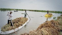 armers bring boatloads of paddy after harvesting from a flooded field in Chatmohar upazila of Pabna. Photo: Star