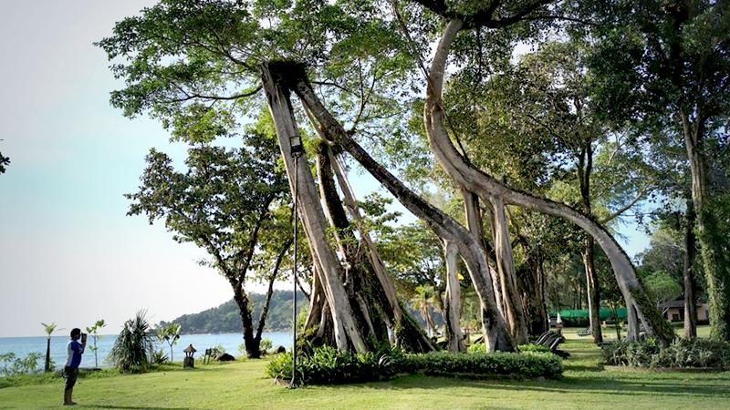 The signature giraffe-shaped Banyan tree in front of the beach at Khaolak Merlin Resort. /Photo by Jintana Panyaarvudh