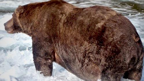 Bear 747 emerged victorious in Fat Bear Week. MUST CREDIT: Courtesy of N. Boak/NPS