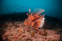 Underwater image of lion fish and coral reef