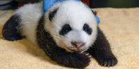 The National Zoo's giant panda cub is shown at 8 weeks old. He is growing and crawling, zookeepers said. MUST CREDIT: Photo courtesy of National Zoo.