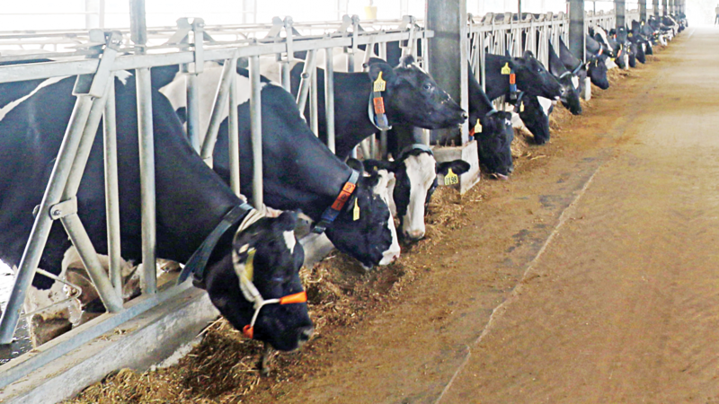 As the cowsheds were designed using a Swedish model, the animals feel more comfortable in these sheds. Photo: Star