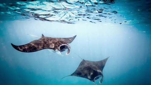 Manta rays in Raja Ampat waters, West Papua. (Sea Sanctuaries/Steve Woods)