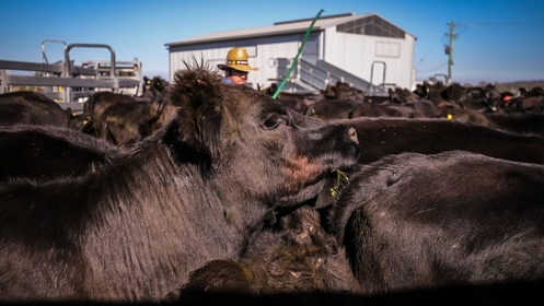 A farmer corrals cattle at a farm in Gunnedah, New South Wales, Australia, on May 29, 2020. MUST CREDIT: Bloomberg photo by David Gray