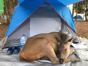 The 'Thanks, deer, for guarding my camp' caption for the photos have now been shared more than 1,400 times on Facebook.