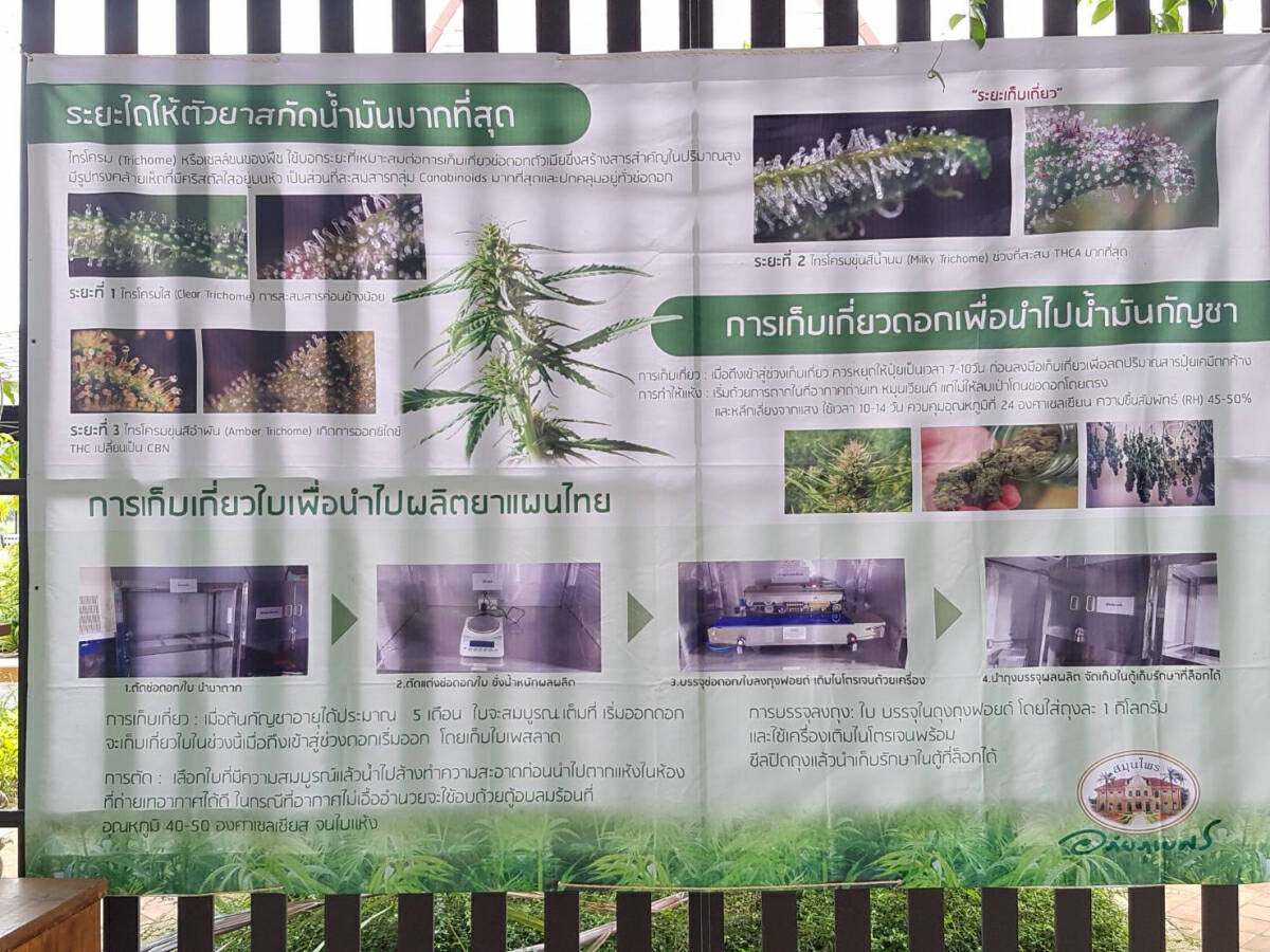 Prachin Buri hospital hosts cannabis growing class for the public