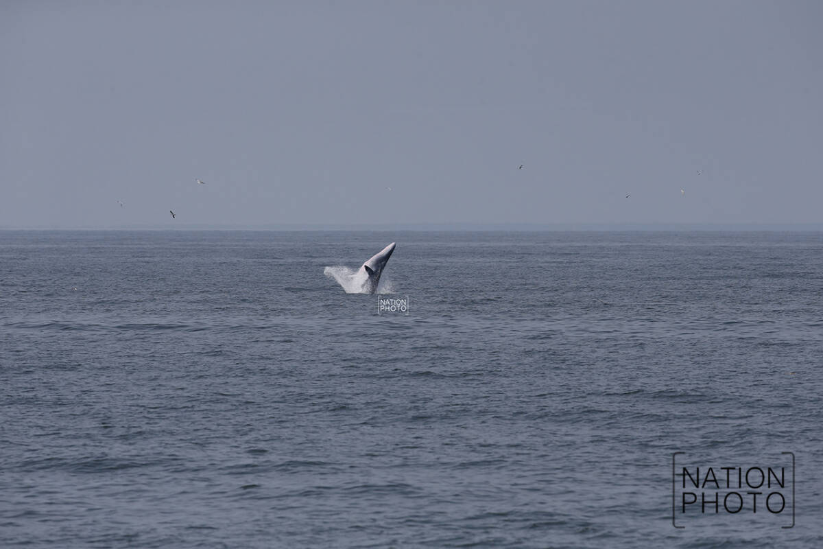 Bryde's whales have made their seasonal return to the Gulf of Thailand off Phetchaburi, where they will again be amazing onlookers into December.