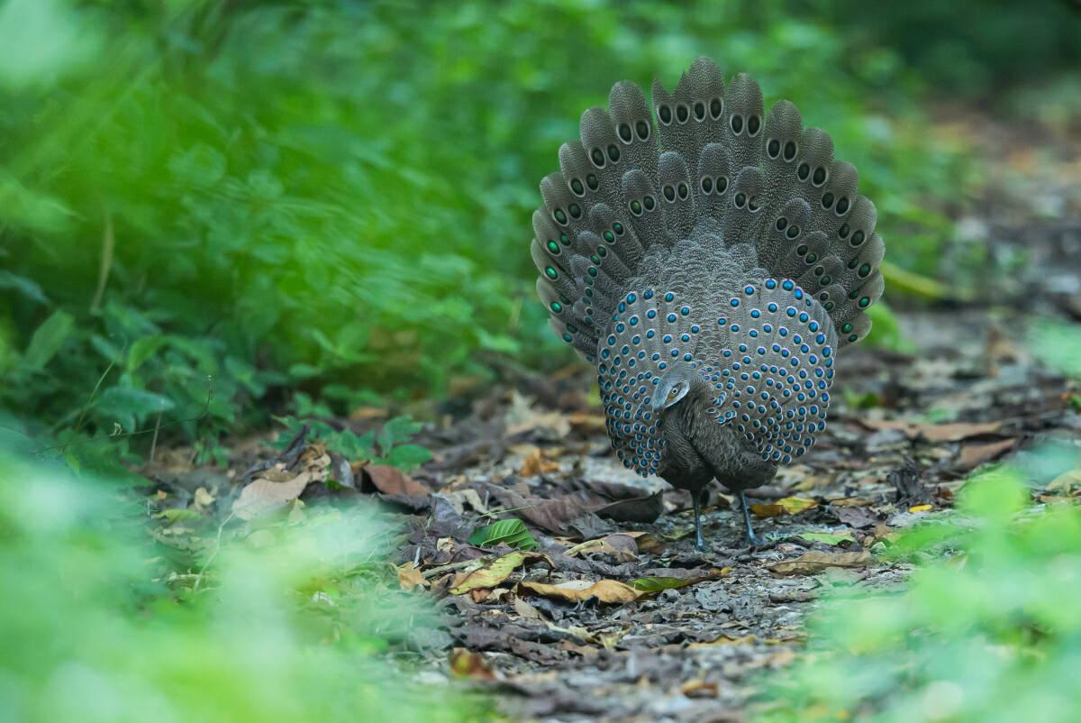 Burmese Peacock-Pheasant