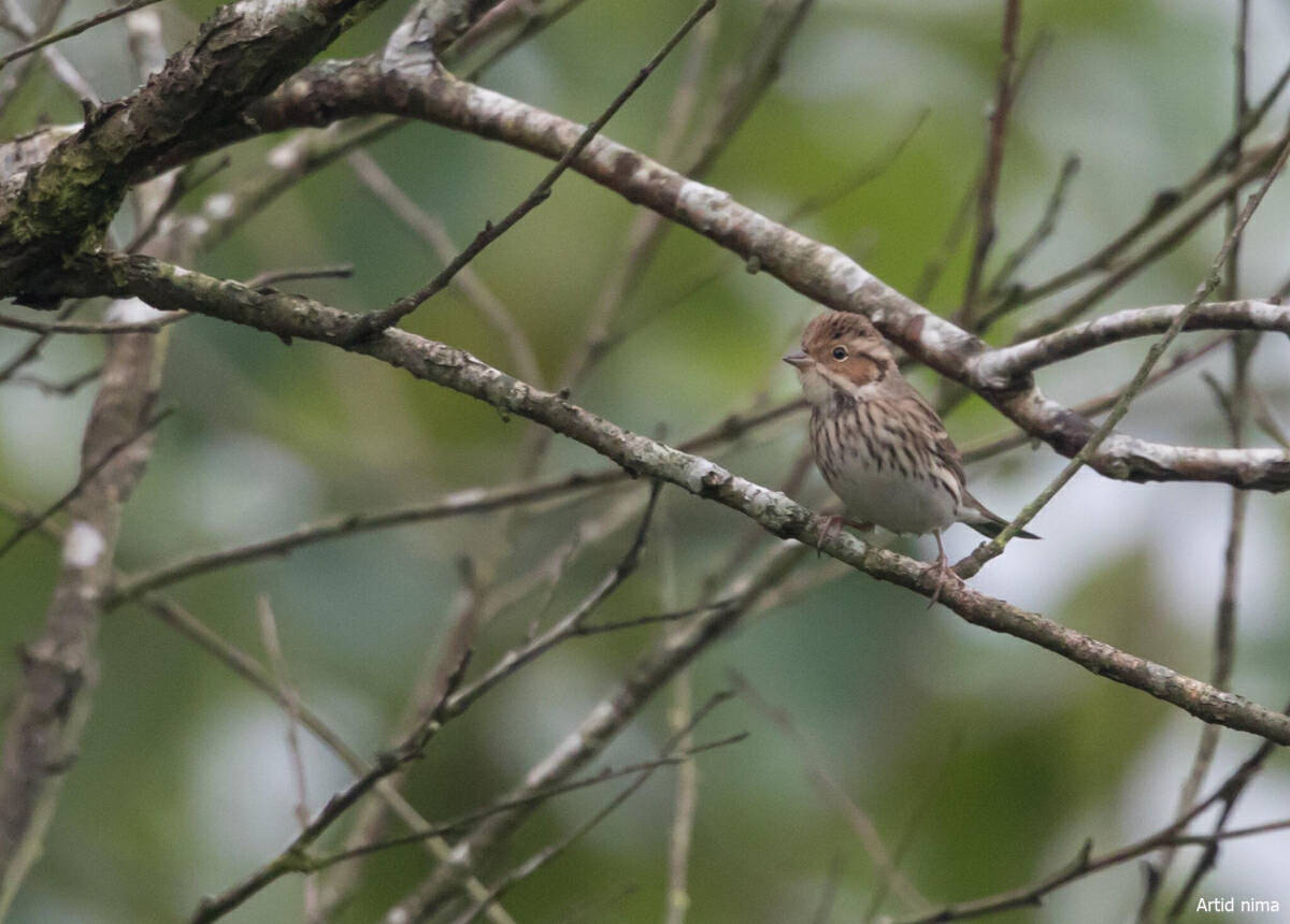 Local Lineated Barbet