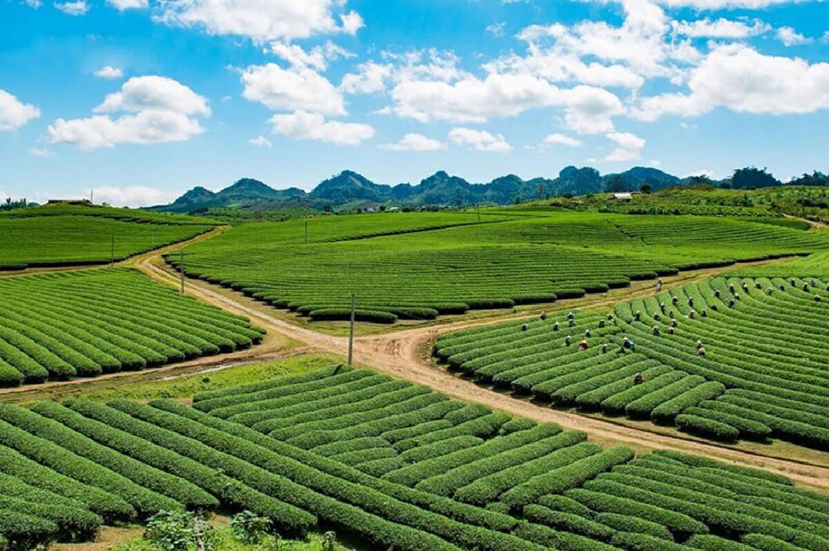 Landscape, the beauty of a tea plantation on the Moc Chau plateau – Vietnam