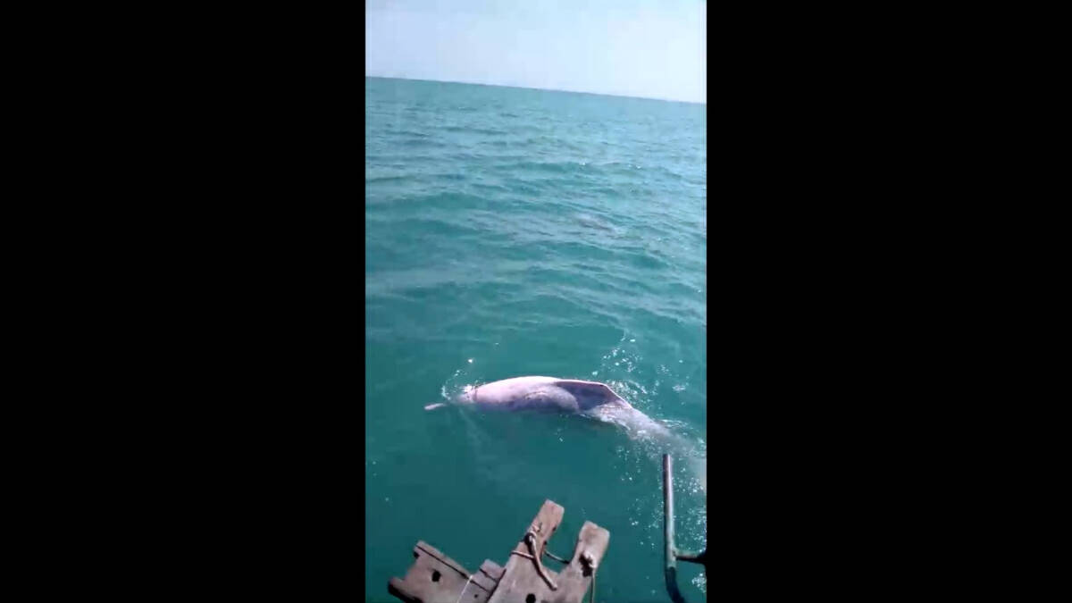 Fishermen feed albino dolphins after rare appearance in Thai Gulf