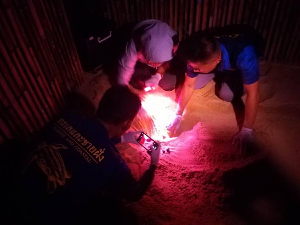 Phang Nga breaks record for endangered leatherback turtle hatchlings