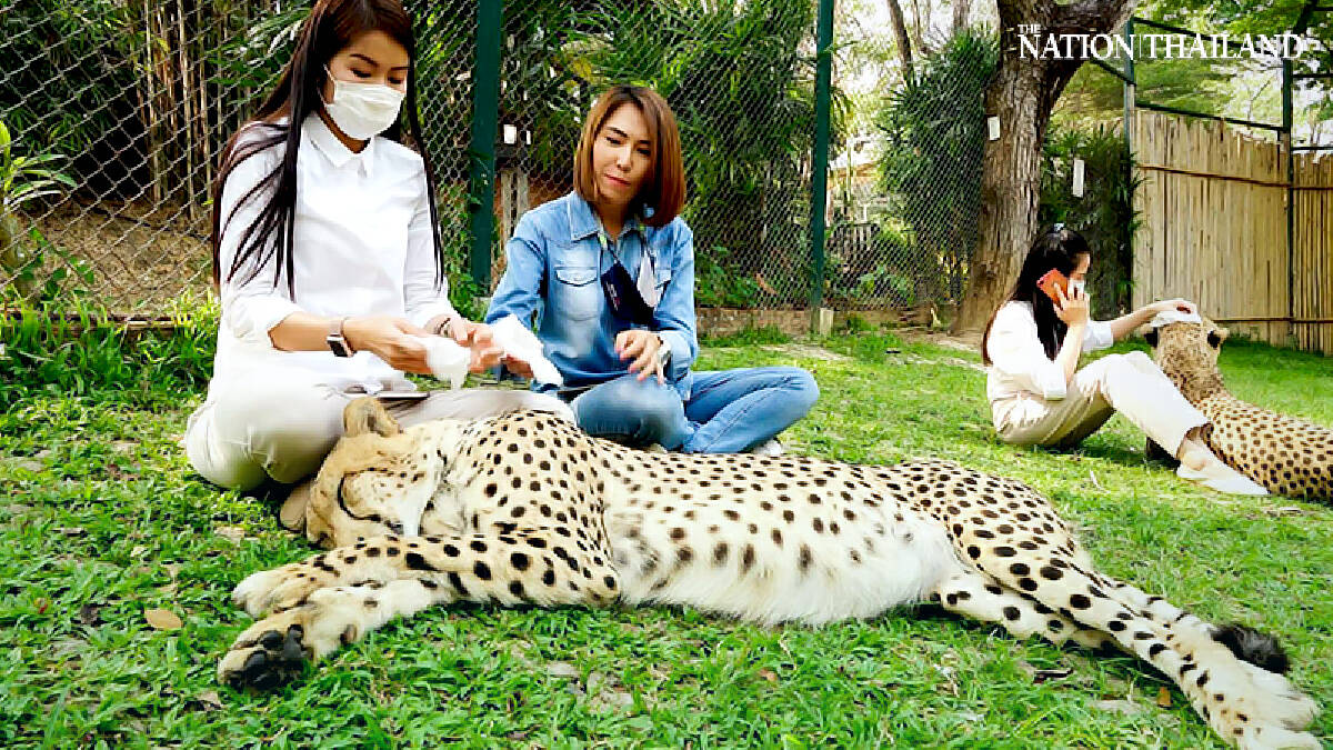 Chiang Mai zoo comes up with creative ways to keep big cats cool