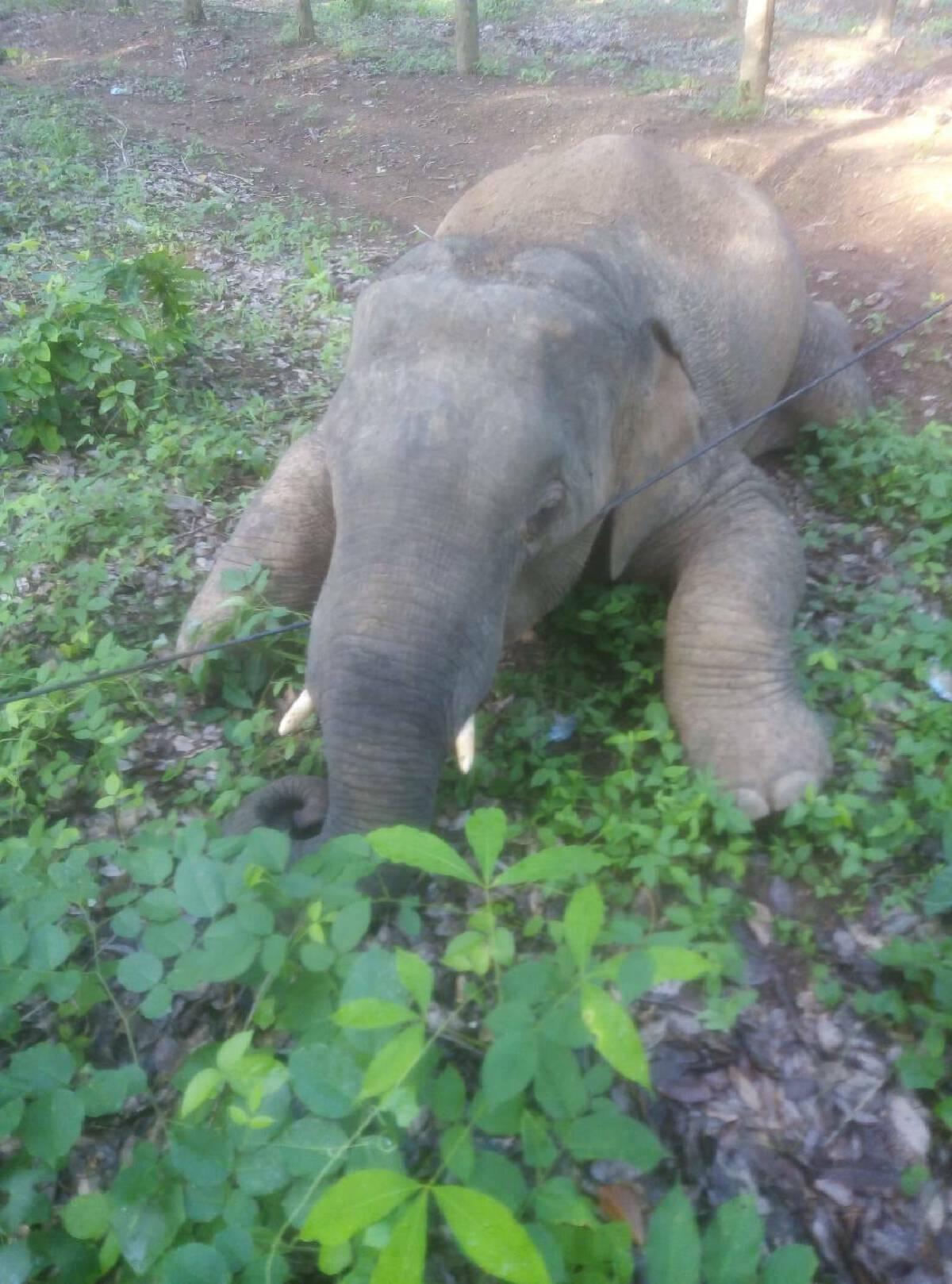 Wild elephant found dead in Chachoengsao rubber plantation