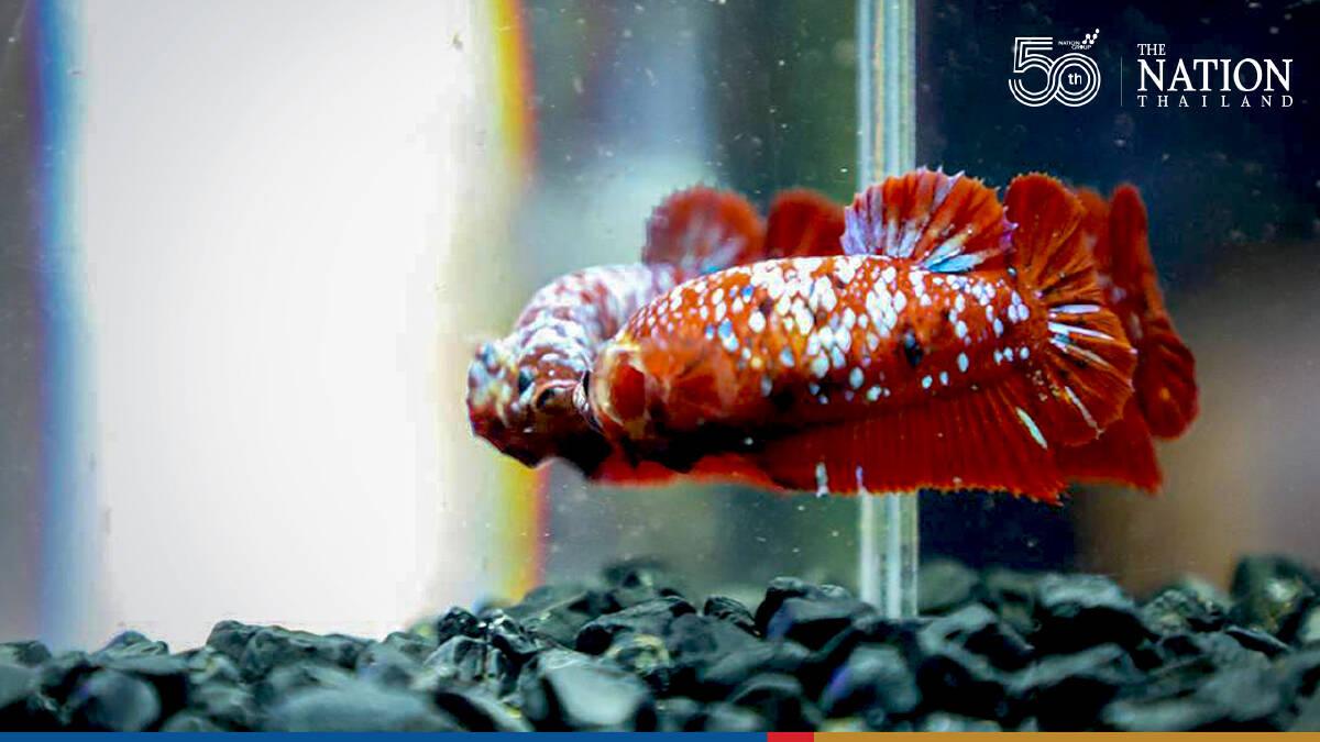 Thailand's fighting fish still the world champions, says betta breeder